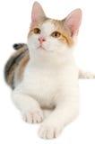 Gato en el fondo blanco Imágenes de archivo libres de regalías