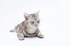 Gato en el fondo blanco Fotografía de archivo libre de regalías