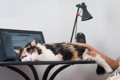 Gato en el ordenador portátil Fotografía de archivo libre de regalías