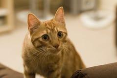 Gato en el sofá Imagen de archivo libre de regalías