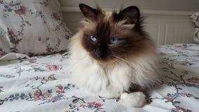 Gato en el sofá Fotografía de archivo libre de regalías