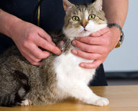 Gato en el veterinario Fotos de archivo