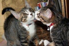 Gato en espejo Fotografía de archivo