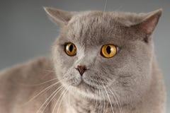 Gato en fondo gris Foto de archivo libre de regalías