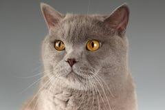 Gato en fondo gris Fotografía de archivo libre de regalías