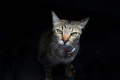 Gato en fondo negro Fotos de archivo libres de regalías