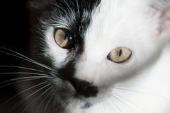 Gato en fondo negro Cierre para arriba Fotografía de archivo
