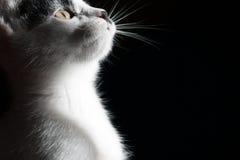 Gato en fondo negro Cierre para arriba Foto de archivo