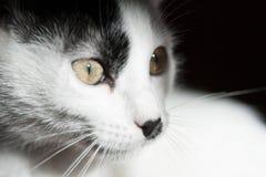 Gato en fondo negro Cierre para arriba Fotos de archivo