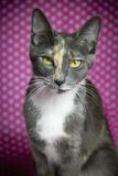 Gato en fondo rosado del punto Imagenes de archivo