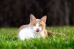 Gato en hierba verde con la lengua Foto de archivo libre de regalías