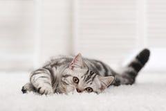 Gato en la alfombra fotografía de archivo libre de regalías