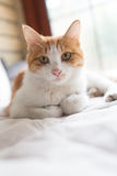 Gato en la cama Foto de archivo libre de regalías