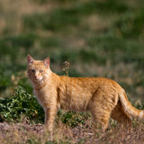 Gato en la caza en un pantano Fotos de archivo