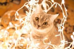 Gato en la guirnalda de la Navidad Fotos de archivo libres de regalías