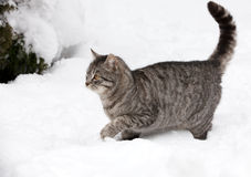 Gato en la nieve blanca Imagenes de archivo