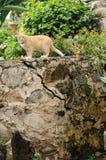 Gato en la pared de piedra Foto de archivo libre de regalías