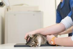 Gato en la práctica veterinaria El veterinario es radiografía el animal foto de archivo libre de regalías