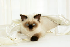 Gato en paño Foto de archivo libre de regalías