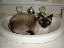 Gato en un fregadero blueeyed foto de archivo libre de regalías