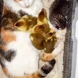 Gato en una cesta con el gatito y la recepción de los anadones del pato de almizcle Madre adoptiva del gato para los anadones imagen de archivo libre de regalías