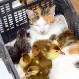 Gato en una cesta con el gatito y la recepción de los anadones del pato de almizcle Madre adoptiva del gato para los anadones fotografía de archivo libre de regalías