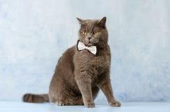 Gato en una corbata de lazo fotos de archivo libres de regalías