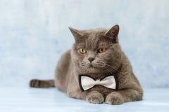 Gato en una corbata de lazo foto de archivo libre de regalías