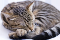 Gato encantador do sono Imagem de Stock