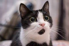 Gato enfocado a un ratón fotos de archivo libres de regalías
