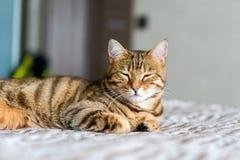 Gato engraçado bonito de bengal que joga em casa Foto de Stock