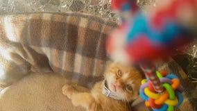 Gato engraçado do bebê que joga com um pêndulo vídeos de arquivo