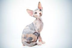 Gato engraçado do sphinx Fotografia de Stock