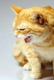 Gato enojado. Foto de archivo libre de regalías