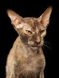 Gato enojado de Peterbald Sphynx del primer en negro Foto de archivo libre de regalías