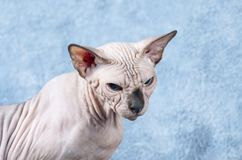 Gato enojado de Sphynx del canadiense Fotografía de archivo libre de regalías