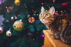 Gato enojado en casa que se sienta en un fondo hermoso de la Navidad de la caja de madera con un daccor del Año Nuevo, regalos y  Fotos de archivo
