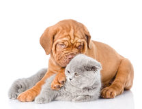 Gato escocés del abarcamiento del perrito de Burdeos Aislado en el backgro blanco Imágenes de archivo libres de regalías