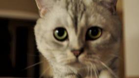 Gato escocés en casa almacen de video