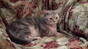 Gato escocés En el sofá 4K almacen de metraje de vídeo