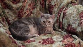 Gato escocés En el sofá 4K almacen de video