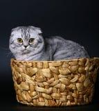 Gato escocés en una cesta en un fondo negro. Foto de archivo libre de regalías