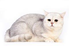 Gato escocés gris Fotografía de archivo