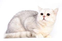 Gato escocés gris Imagen de archivo