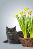 Gato escocés gris con los narcisos Foto de archivo