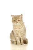 Gato escocés gris en el blanco Fotografía de archivo