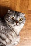 Gato escocés que miente en el piso y que mira de cerca la cámara Gato británico que miente en el piso Fotografía de archivo