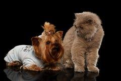 Gato escocés y perro de Yorkshire Terrier aislado Fotos de archivo