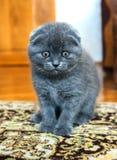Gato escocês Fotografia de Stock