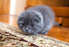 Gato escocês Fotos de Stock Royalty Free